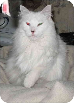 Domestic Longhair Cat for adoption in Cincinnati, Ohio - Snowbell