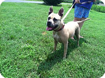 American Staffordshire Terrier Mix Dog for adoption in Lebanon, Maine - Diva-URGENT in MD