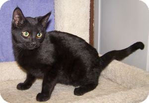 Domestic Shorthair Kitten for adoption in Colorado Springs, Colorado - K-Nicholas1-Jellybean