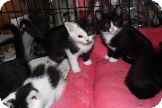 American Shorthair Kitten for adoption in Santa Monica, California - Domino