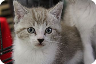 Snowshoe Kitten for adoption in Santa Monica, California - Blaze