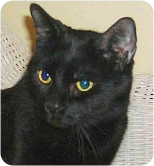 Domestic Shorthair Cat for adoption in Plainville, Massachusetts - Spooky