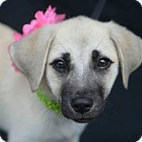 Adopt A Pet :: Blossom - Plano, TX