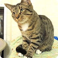 Domestic Shorthair Cat for adoption in Westville, Indiana - Me-Mau