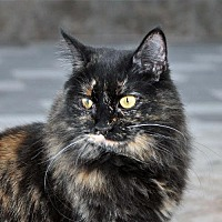 Domestic Longhair Cat for adoption in Alamogordo, New Mexico - Zumba
