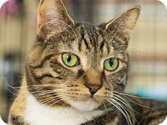 Domestic Shorthair Cat for adoption in Great Falls, Montana - Mau