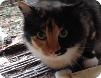 Calico Cat for adoption in BROOKSVILLE, Florida - Kailey