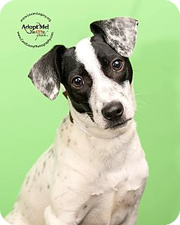 Smooth Fox Terrier/Jack Russell Terrier Mix Dog for adoption in Cincinnati, Ohio - Simpson- WAIVED FEE
