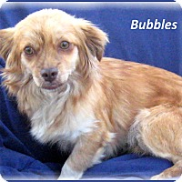 Adopt A Pet :: Bubbles - Marlborough, MA