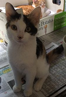 Domestic Shorthair Kitten for adoption in Mt Pleasant, Pennsylvania - Buttons