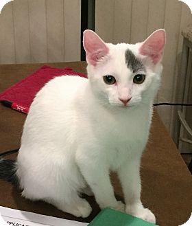 Domestic Shorthair Cat for adoption in Chandler, Arizona - Elsa