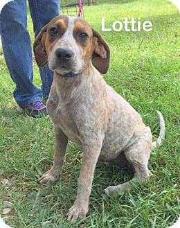 Redtick Coonhound/Hound (Unknown Type) Mix Dog for adoption in Mountain View, Arkansas - Lottie