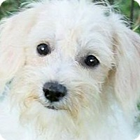 Adopt A Pet :: PIXIE(OUR LITTLE