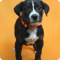 Adopt A Pet :: INDIANA - Westminster, CO