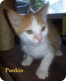 American Shorthair Kitten for adoption in Golsboro, North Carolina - PUNKIN