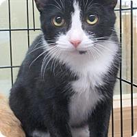 Domestic Shorthair Kitten for adoption in Reeds Spring, Missouri - Hook