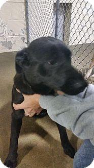 Labrador Retriever/Flat-Coated Retriever Mix Dog for adoption in Sparta, New Jersey - Josie