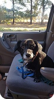 Dachshund/Beagle Mix Dog for adoption in Blue Bell, Pennsylvania - Cookie