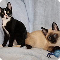 Adopt A Pet :: Olivia & Oliver (Bonded Pair) - Orland Park, IL
