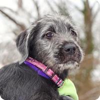 Adopt A Pet :: PUPPY ROSEBUD - Spring Valley, NY