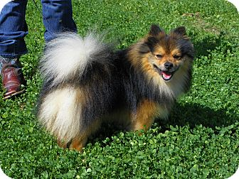 Pomeranian Dog for adoption in Hesperus, Colorado - LOKI