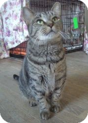 Domestic Shorthair Cat for adoption in Acushnet, Massachusetts - Friskie