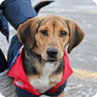 Beagle Mix Dog for adoption in Douglas, Ontario - Buffy