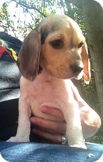 Beagle Mix Puppy for adoption in Richmond, Virginia - Patty