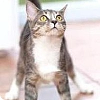Domestic Shorthair Cat for adoption in Miami, Florida - Christy