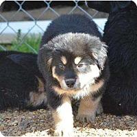 Adopt A Pet :: Santo - New Boston, NH