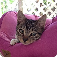 Adopt A Pet :: Gatsby - Miami, FL