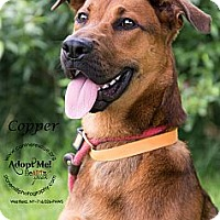 Adopt A Pet :: Copper - Westfield, NY