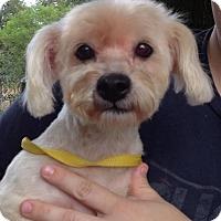 Adopt A Pet :: Scuffles - Gainesville, FL