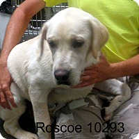 Adopt A Pet :: Roscoe - baltimore, MD
