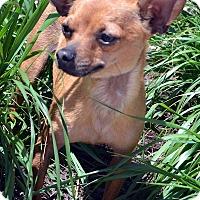 Adopt A Pet :: Rowan - Bridgeton, MO