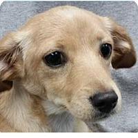 Adopt A Pet :: Charles - Springdale, AR