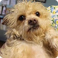 Shih Tzu/Poodle (Miniature) Mix Dog for adoption in Lodi, California - Carly