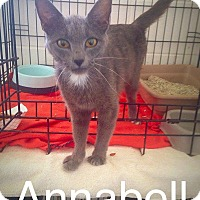 Domestic Shorthair Cat for adoption in Dillon, South Carolina - Annabell