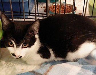 Domestic Shorthair Kitten for adoption in Middletown, New York - Chaplin