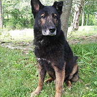 German Shepherd Dog Mix Dog for adoption in Louisville, Kentucky - Thor