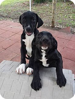Basset Hound/Labrador Retriever Mix Puppy for adoption in Snow Hill, North Carolina - JAINIE