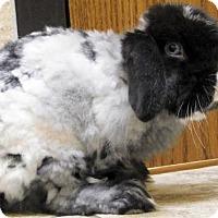 Adopt A Pet :: Nibbler - Jefferson, WI