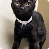 Domestic Shorthair Cat for adoption in Channahon, Illinois - Ebony