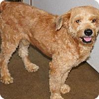Adopt A Pet :: 'SING' - Agoura Hills, CA