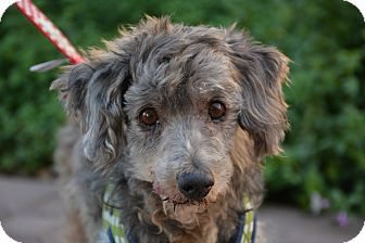 Poodle (Miniature) Mix Dog for adoption in Phoenix, Arizona - Ashton