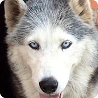 Husky Dog for adoption in Los Angeles, California - PERLA (video)