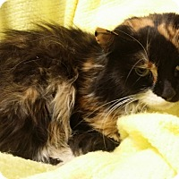 Adopt A Pet :: Daisy Mae - Berlin, CT