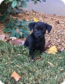 Terrier (Unknown Type, Small)/Miniature Pinscher Mix Puppy for adoption in Woodstock, Georgia - Stewart