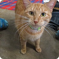 American Bobtail Cat for adoption in Marble Falls, Texas - Jasmine