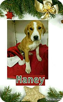 Labrador Retriever Mix Puppy for adoption in Manchester, Connecticut - Maney pending adoption